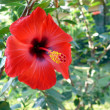Hibiscus — Stock Photo #1422403