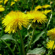 Stock Photo: Yellow dandellions