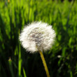Solitude dandelion — Stock Photo