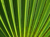 Texture of palm leaf — Stock Photo