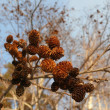 Alder cones — Stock Photo