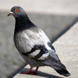 Grey pigeon — Stock Photo