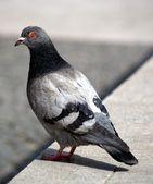 Grey pigeon — Stock Photo