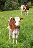 Cow and calf — Stock Photo
