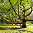Very old tree in the park — Stock Photo