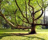 Velmi starý strom v parku — Stock fotografie