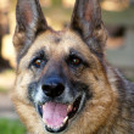 Happy Wolf-hound portrait — Stock Photo