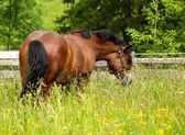Horse on the meadow — Stock Photo