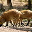 Wild pigs — Stock Photo #2344817