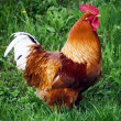 Rooster — Stock Photo #2345979