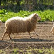 Sheep running — Stockfoto