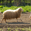 Sheep running - Stock Photo