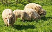 Sheep family — Stock Photo