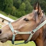 Horse portrait — Stock Photo