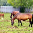 Stock Photo: Horses grazing on the field.