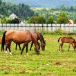 Royalty-Free Stock Photo: Horses grazing on the field.