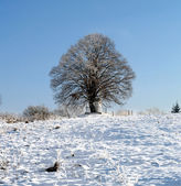 Lone tree in the winter — Stock Photo