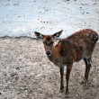 Stock Photo: Losted Deer
