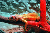 Lizard On Red — Stock Photo