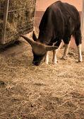 Bull eat hay — Stock Photo