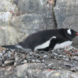 Gentoo Penguin in nesting area — Foto Stock