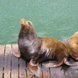 California Sea Lion — Stock Photo