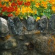 Nasturtium on old stone wall with lichen — Stock Photo