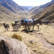 Stock Photo: Mule train, carrying loads
