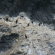 Cormorants nesting on rocky cliffs — Foto Stock