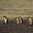 Confusion - adelie penguins — Stock Photo #1444270
