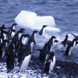 Adelie penguins, jumping into the ocean — Stockfoto