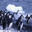 Adelie penguins, jumping into the ocean — Foto Stock