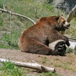 Grizzly Bear — Stock Photo #1444713