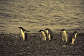 Confusion - adelie penguins — Stock Photo