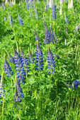 Lupines in a field — Stock Photo