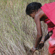 Indian woman  uses a sickle to harvest sesame s - Stock Photo