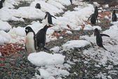Gentoo penguins, on rocky beach — Stok fotoğraf