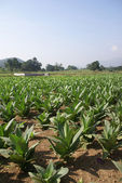 Well tended tobacco field — Stock Photo