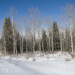 Bare winter aspens — Stock Photo