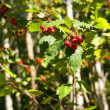 Stock Photo: Autumn, red berries and white birch forest