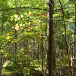 White birch grouping in New England forest, autu — Stock Photo