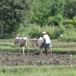 Indian farmer plowing with bullocks - Stock Photo