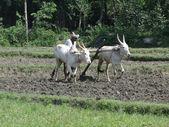 Indian farmer plows with bullocks — Stock Photo