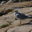 Herring gull on granite rocks, - Stock Photo