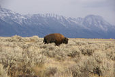 Single bull bison walking — Stock Photo