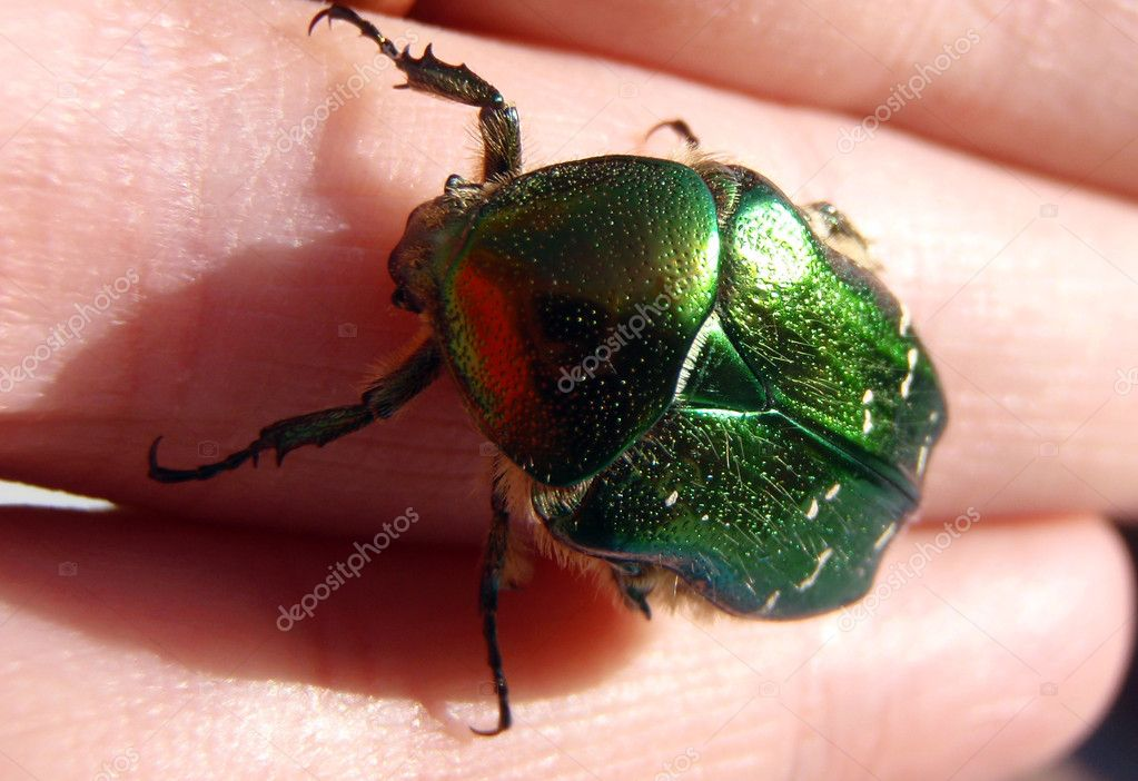 Cockchafer on palm — Stock Photo #1622470