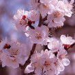 Blossom — Stock Photo #1426400