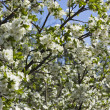 Stock Photo: Tree blossoms