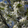 Plum blossoms — Stock Photo