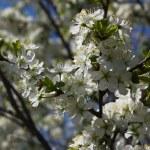 Plum blossoms — Stock Photo #1916912